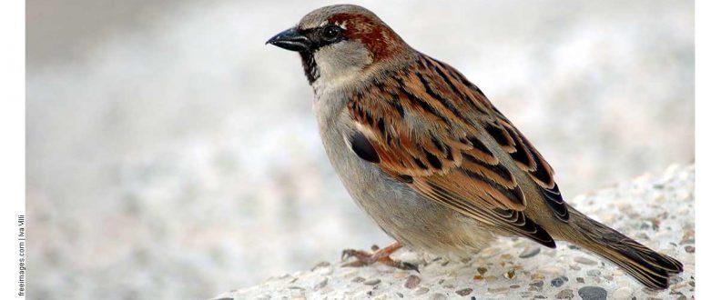 Что за птица похожая на воробья