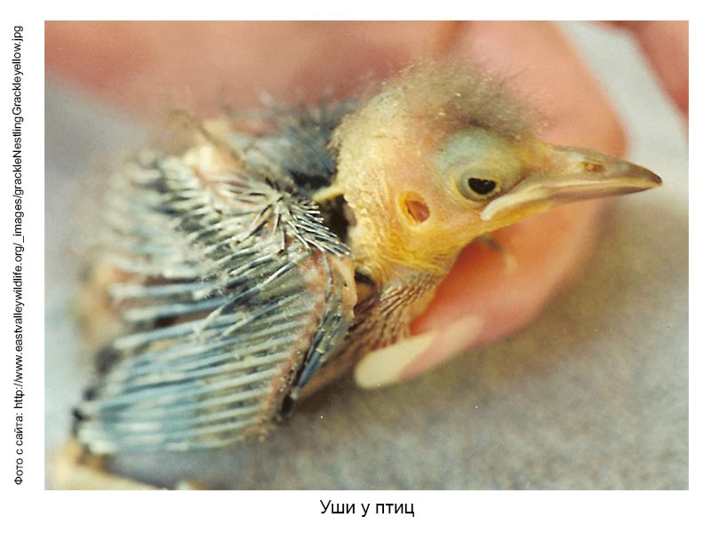 Уши у птиц