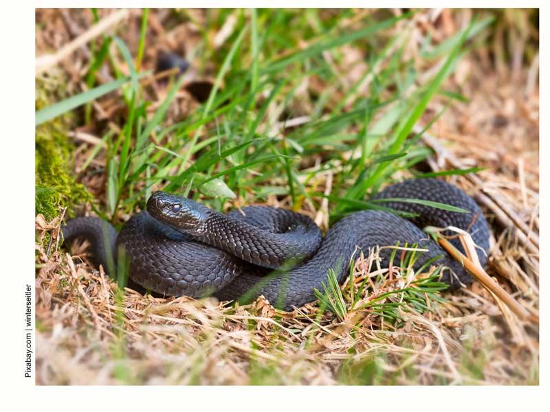 Гадюка обыкновенная, змеи подпосковья