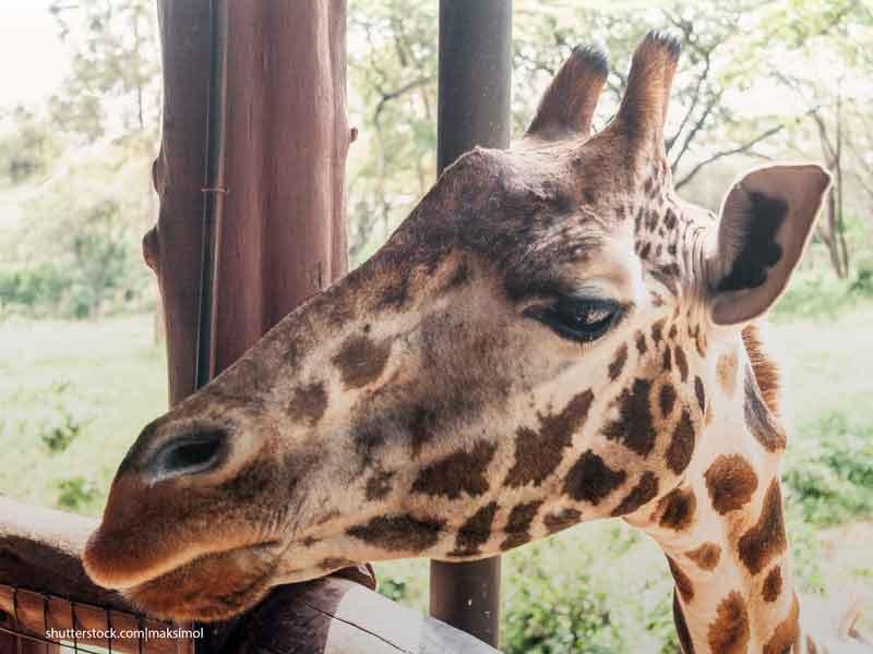 Жираф в зоопарке Giraff Center