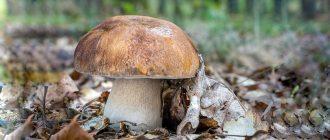 Белый гриб, описание, свойства, применение