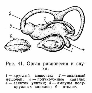 Внутренне ухо рыбы