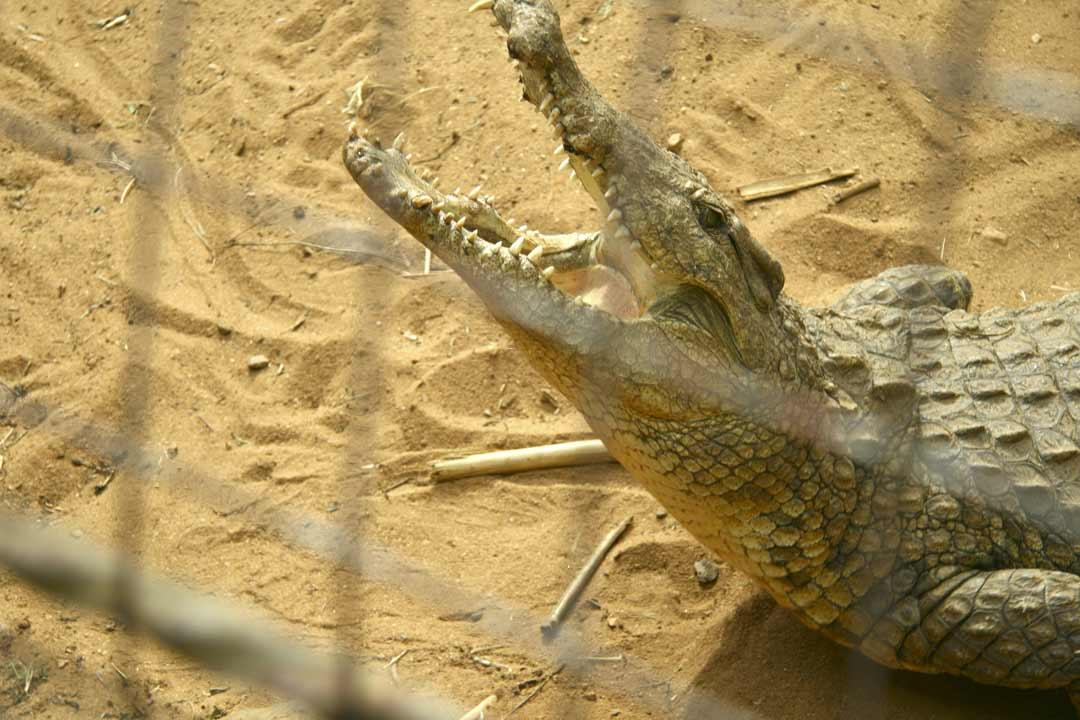 Крокодил с открытыми челюстями