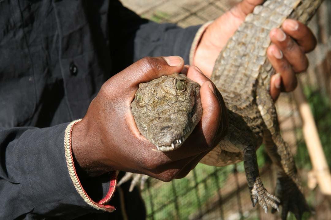 крокодил в руках