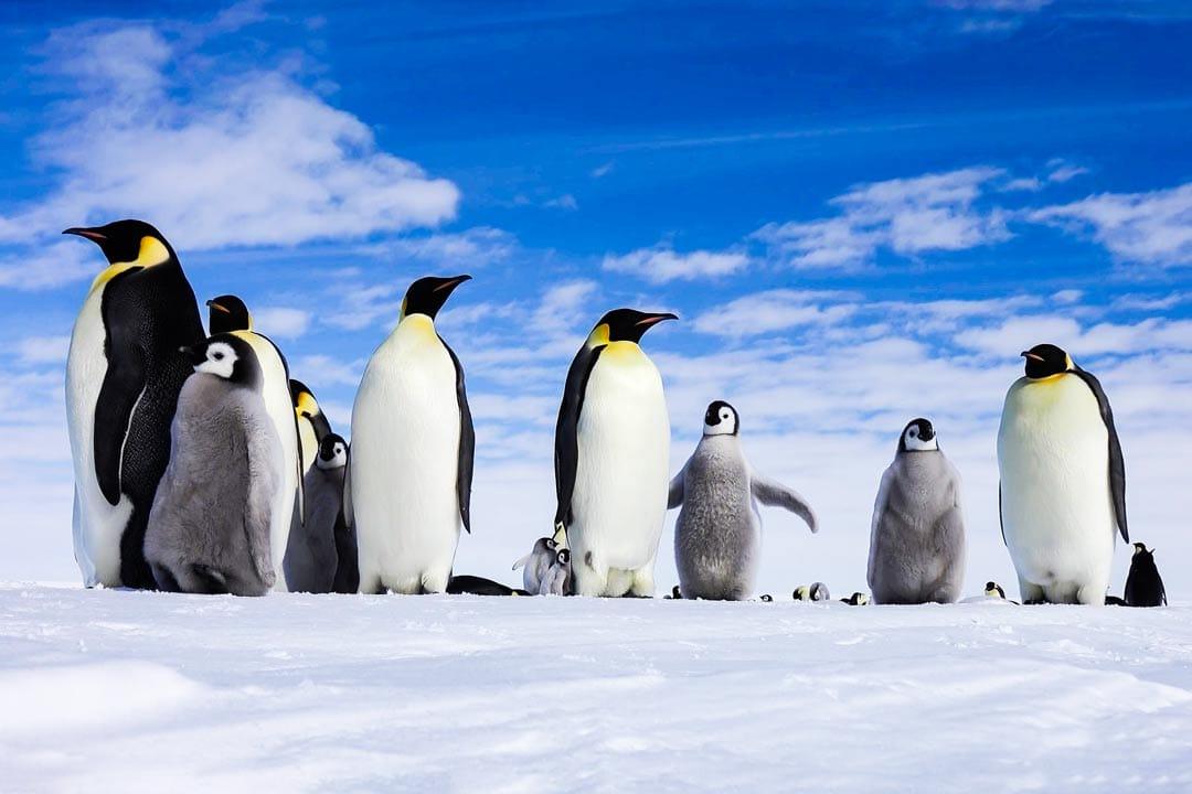 сбор пингвинов