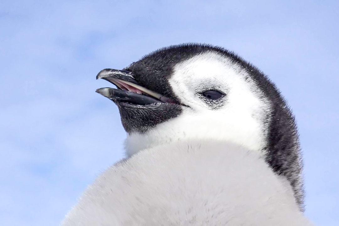 клюв пингвина