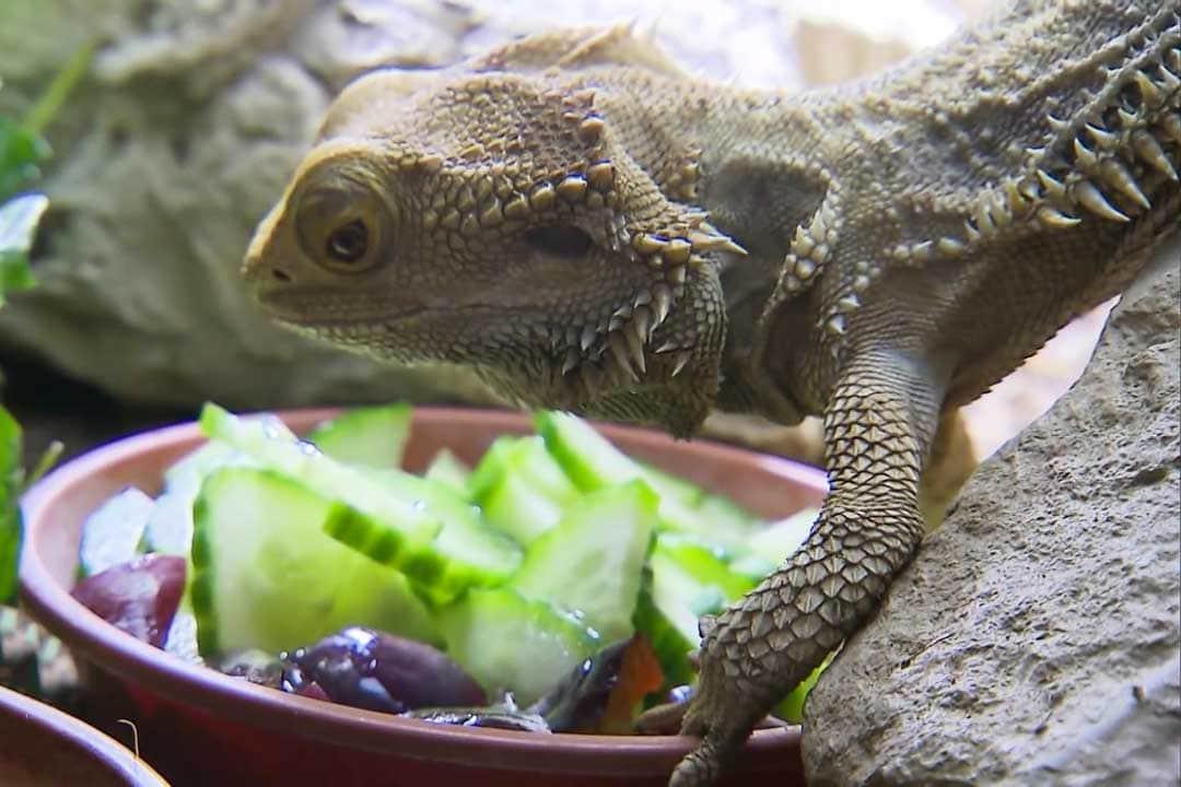 Кормление ящерицы овощами