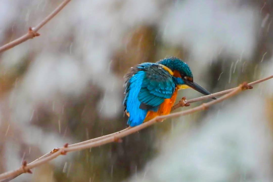 Зимородок зимой замерзает