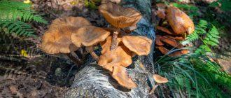 гриб опенок