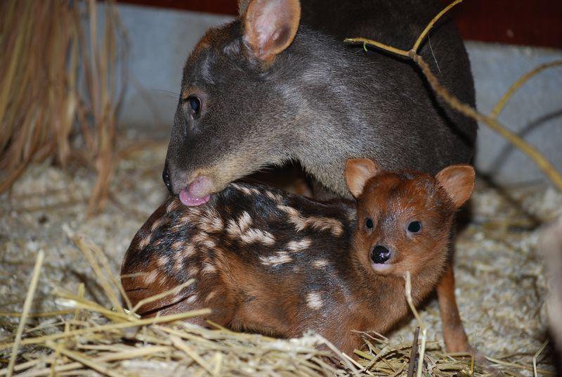 Олененок Пуду с матерью