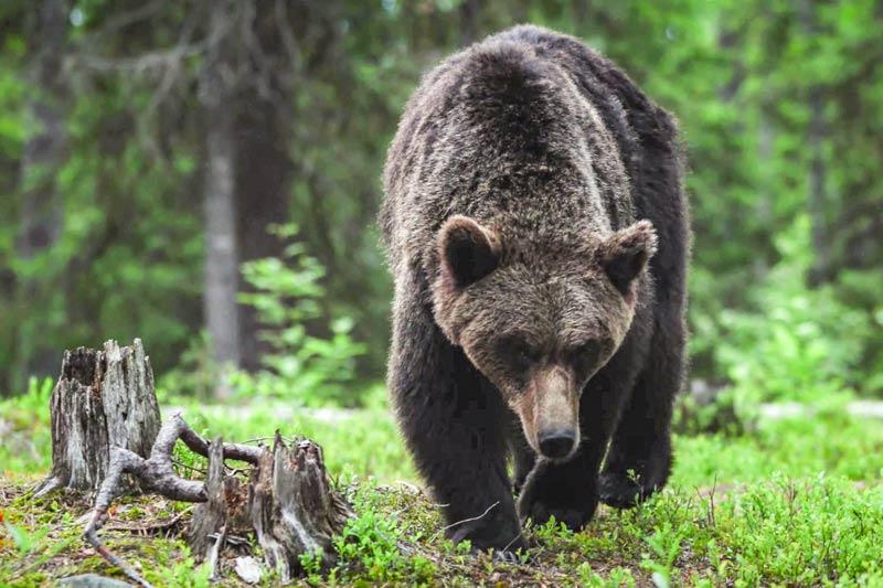 Крупный-медведь