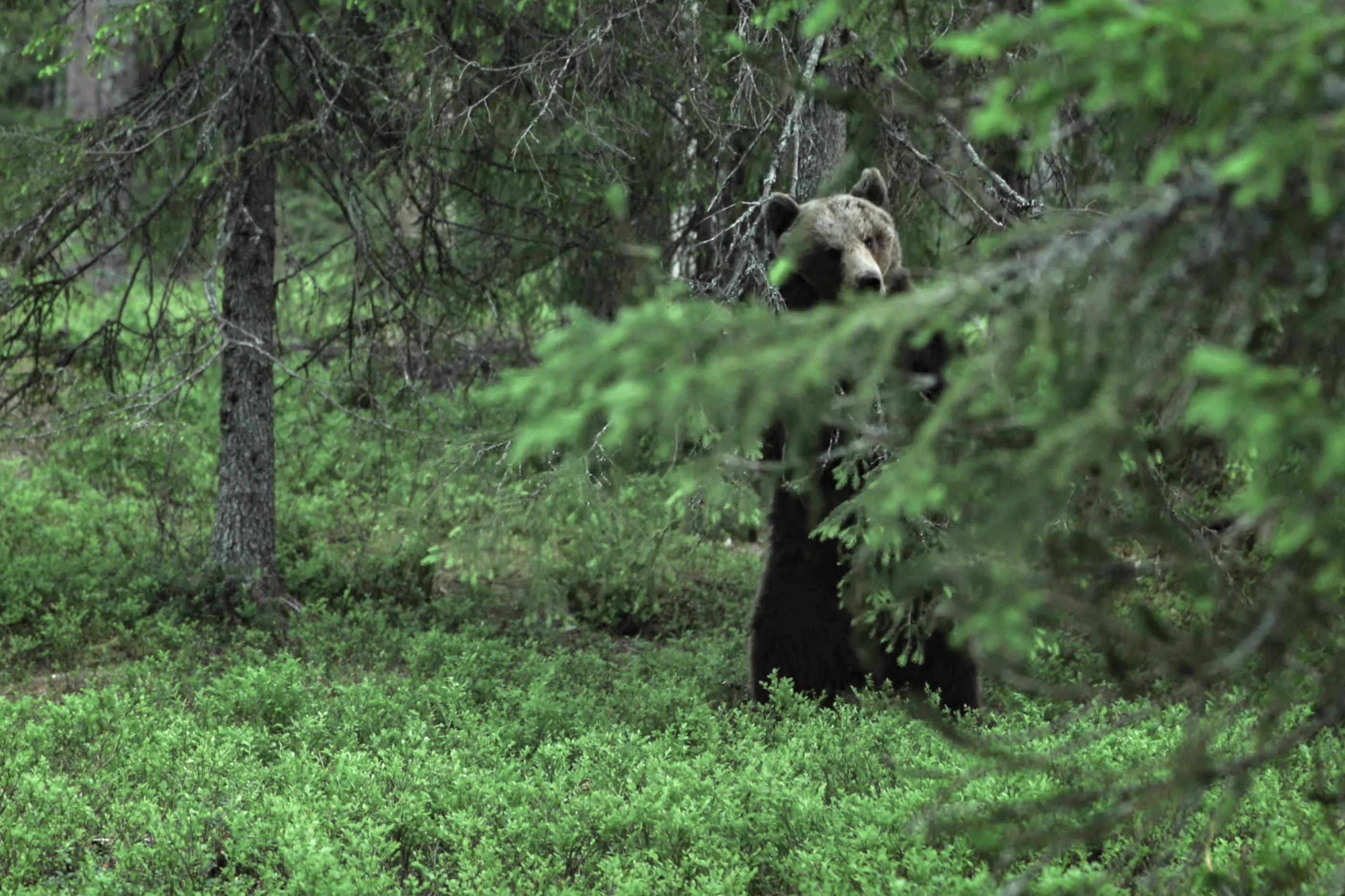 Медведь что то учуял и осматривается