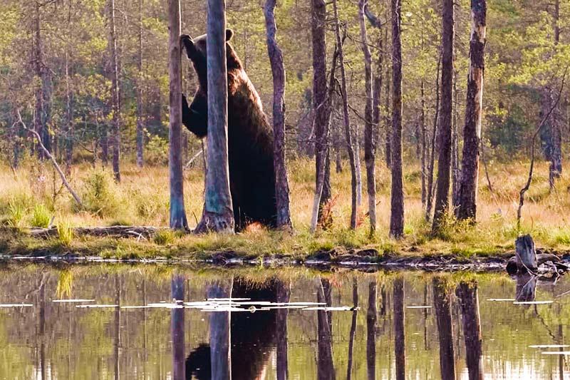 Медведь предупреждает или пугает