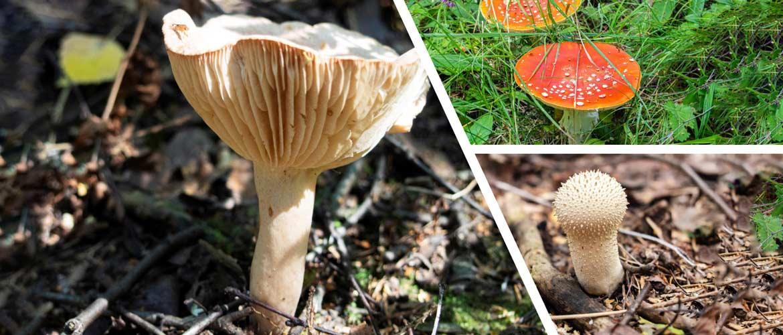 Как отличить ядовитые и не ядовитые грибы