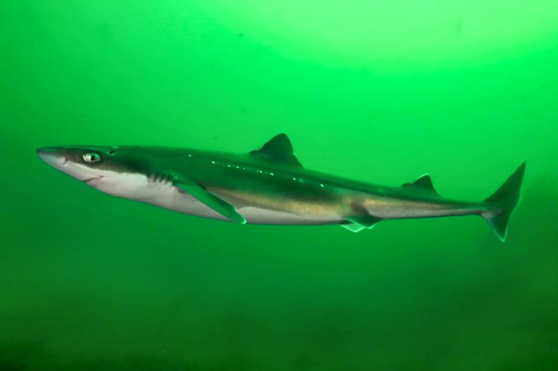 Акулы катраны