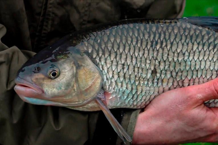 Особенности рыбалки на голавля, как выглядит и где искать, описание рыбы